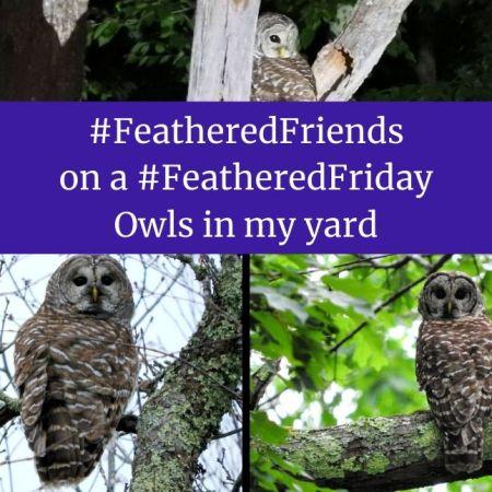 Owls in my yard blog thumbnail