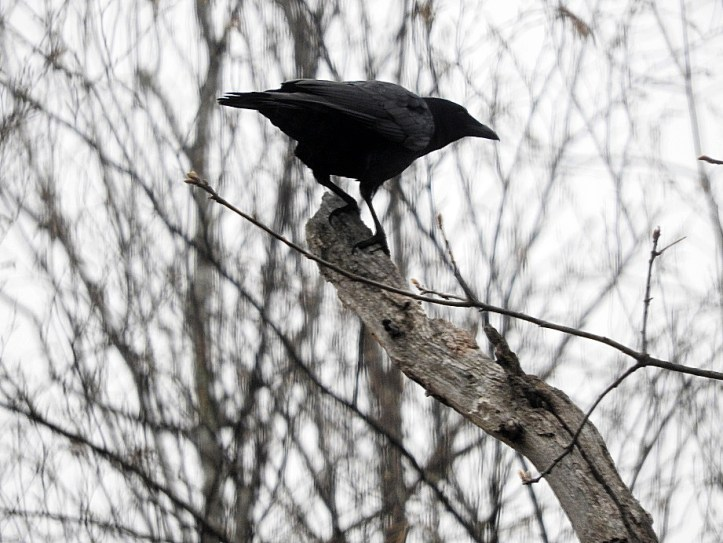 a visit from my crows yesterday