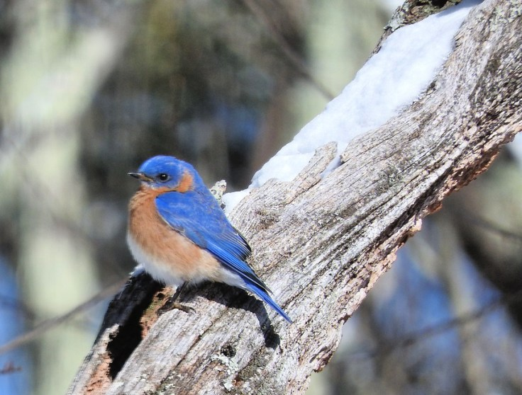 Bluebird #FeatheredFriends