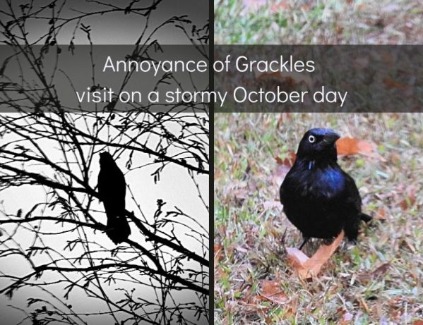 Annoyance of Grackles visit on a stormy October day blog thumbnail