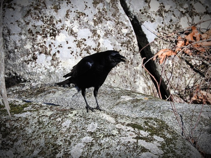 Feathered Friends Crow Visit From February 27th, 2017