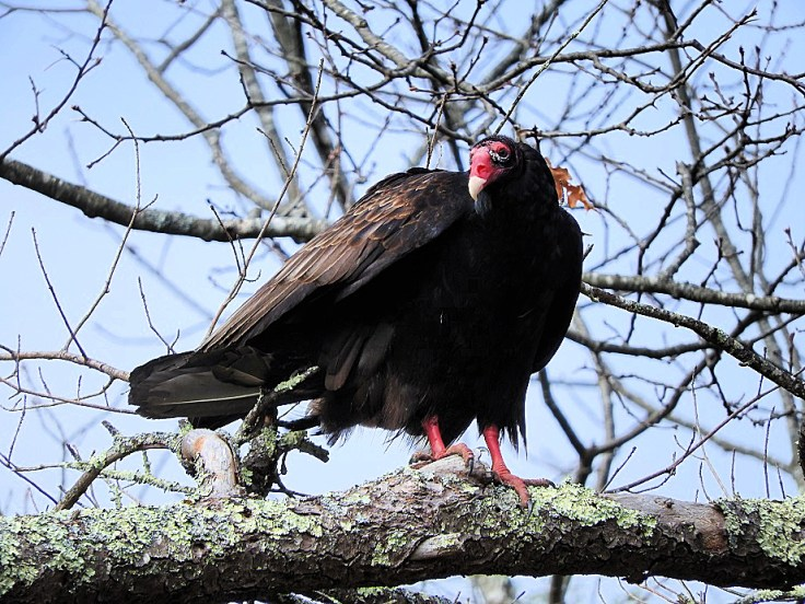 Turkey Vultures in love