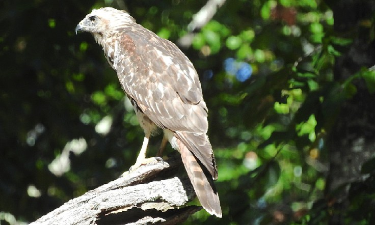 In memory of a tree branch Young Red-shouldered Hawk