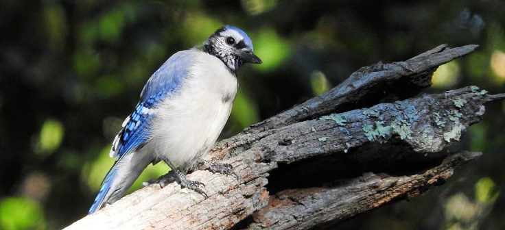 In memory of a tree branch Bluejay