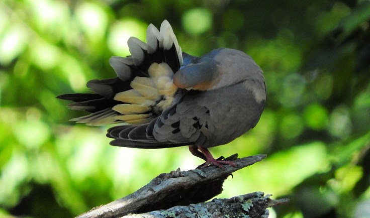 In memory of a tree branch Mourning Dove