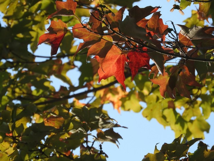 The tree that signals the end of summer