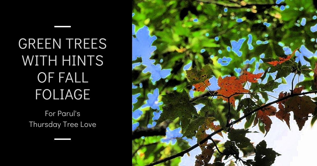 Green trees with hints of fall foliage Thursday Tree Love blog thumbnail