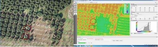 Detección de verticilium en olivar mediante drones