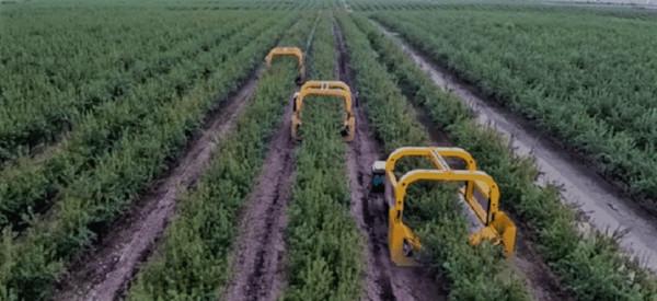 Recolección de almendro en seto, cosechadora & peladora de almendro de la marca Tenías