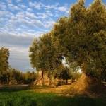 Trazabilidad del Campo a la Almazara en la producción de Aceite de Oliva