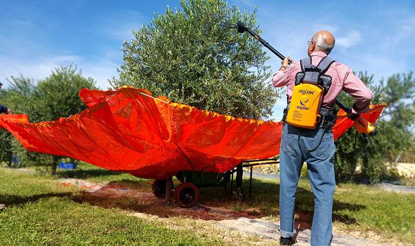 Vibrado de olivo con peine y recogida de la aceituna con paraguas
