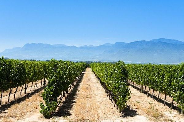 Plantación de viñedo en espaldera