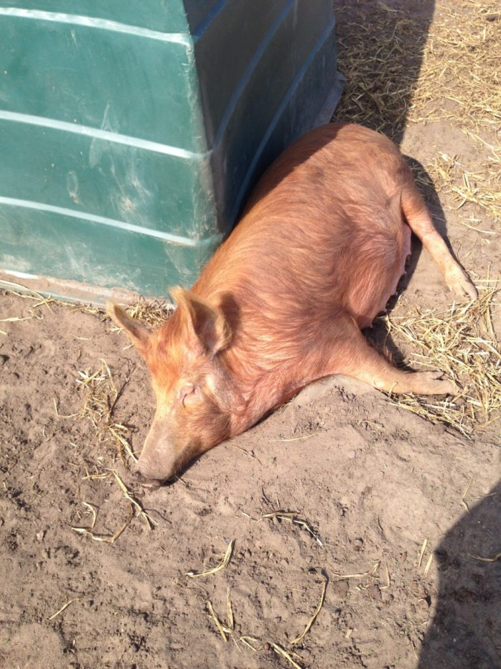 Pregnant Tamworth Rare Breed Sow