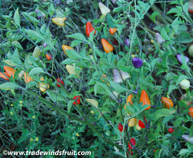 Chinese Five Color Pepper