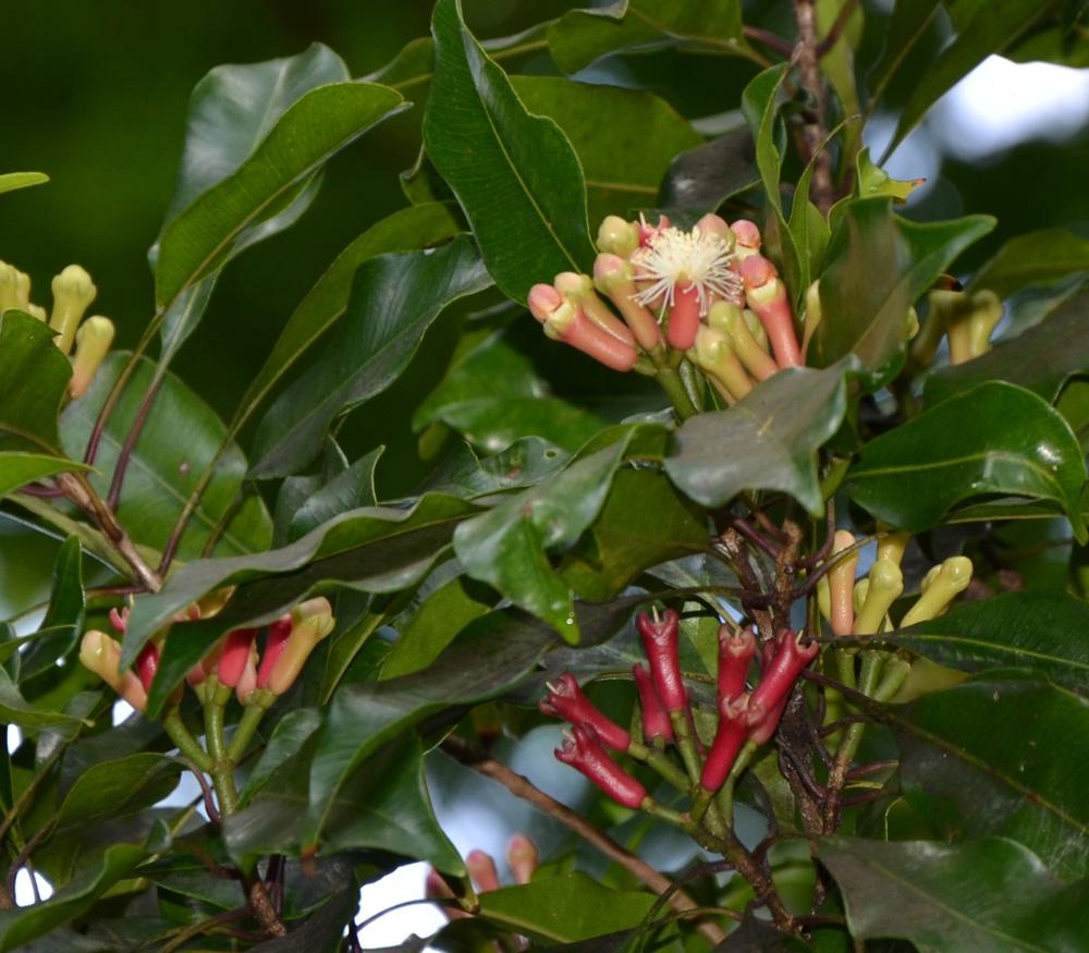 Image result for Syzygium aromaticum