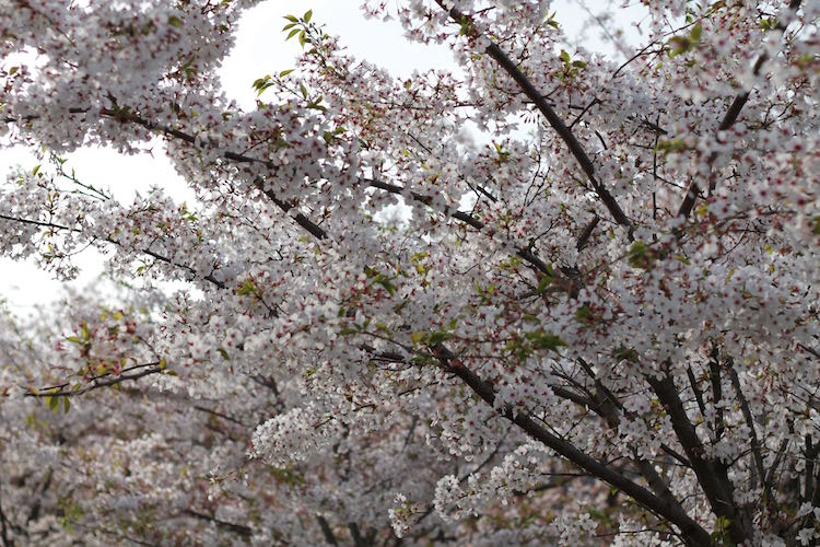 Video XXX fiori di ciliegio