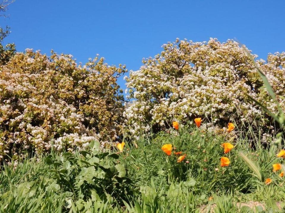 Jade plants and wild poppies in bloom