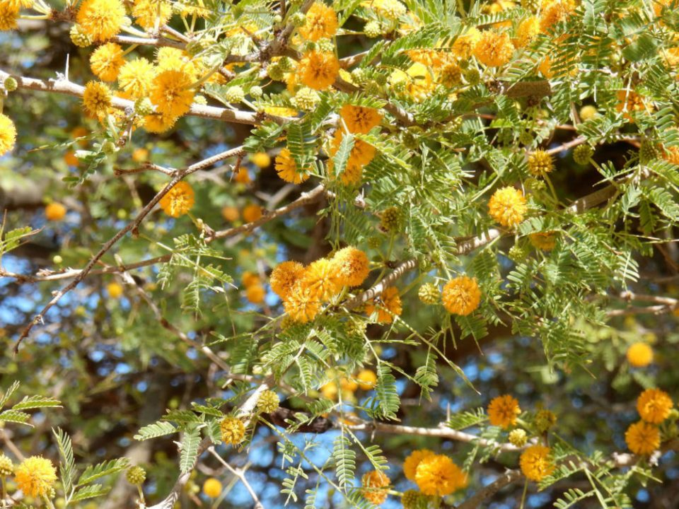 Sweet Acacia, Weesatch