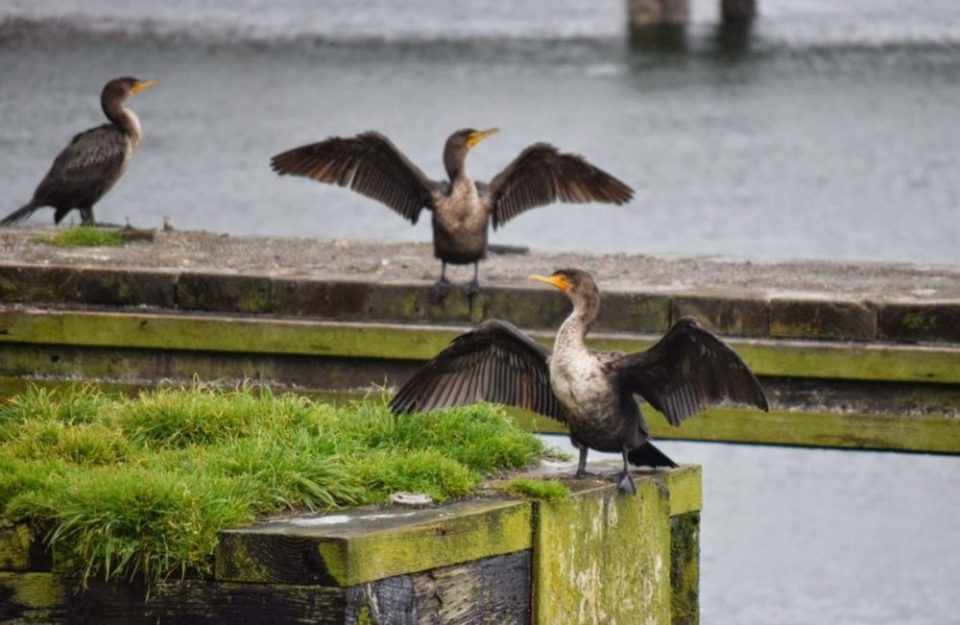King Cormorants