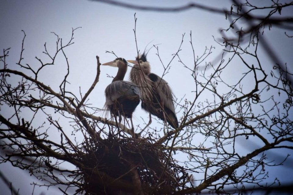Male Female Great Blue Herons