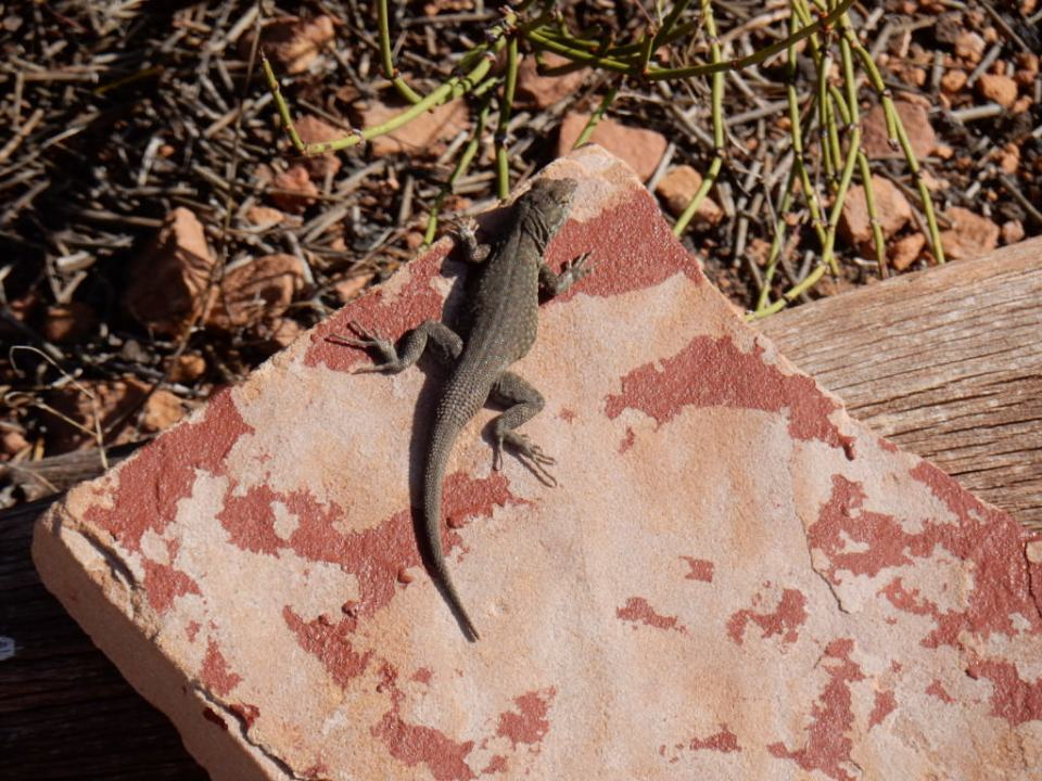 Lizard Lounging at Lomaki