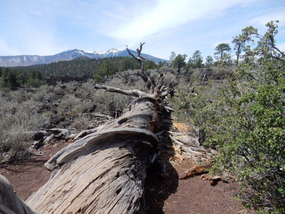 Warped Ponderosa Pine