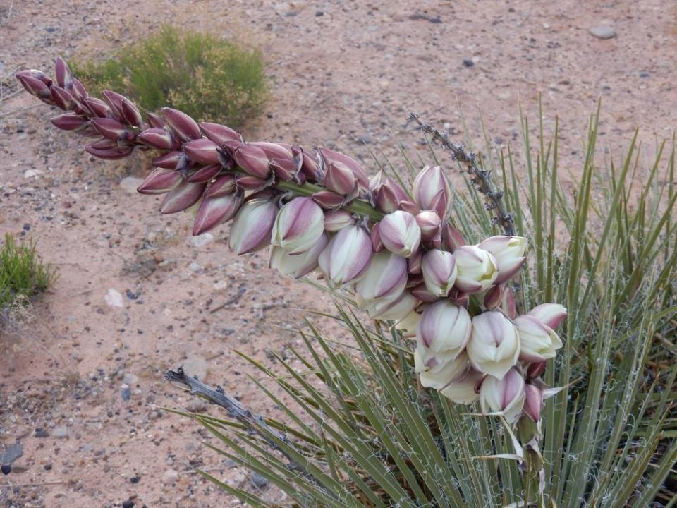 This banana yucca was growing near our camp site. We also had jackrabbits and other critters come by.