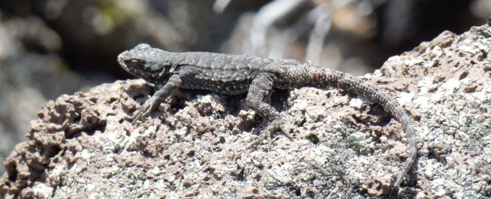 Should lizards blend in or stand out? Your opinion counts!
