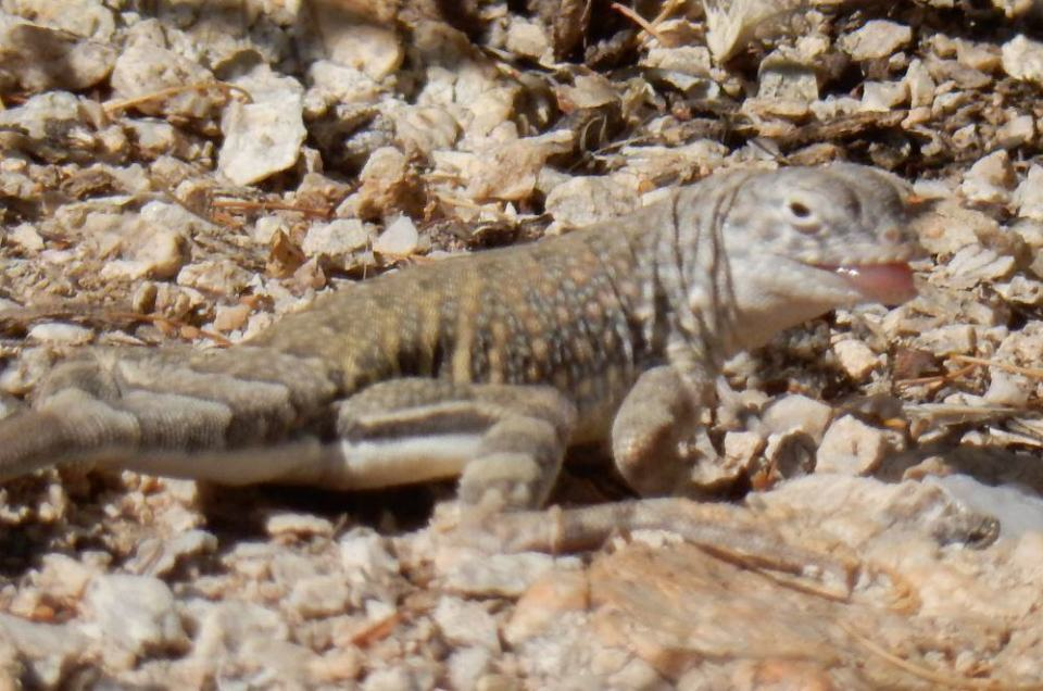 Perils of auto focus; it thinks the rocks are more interesting than the lizard.