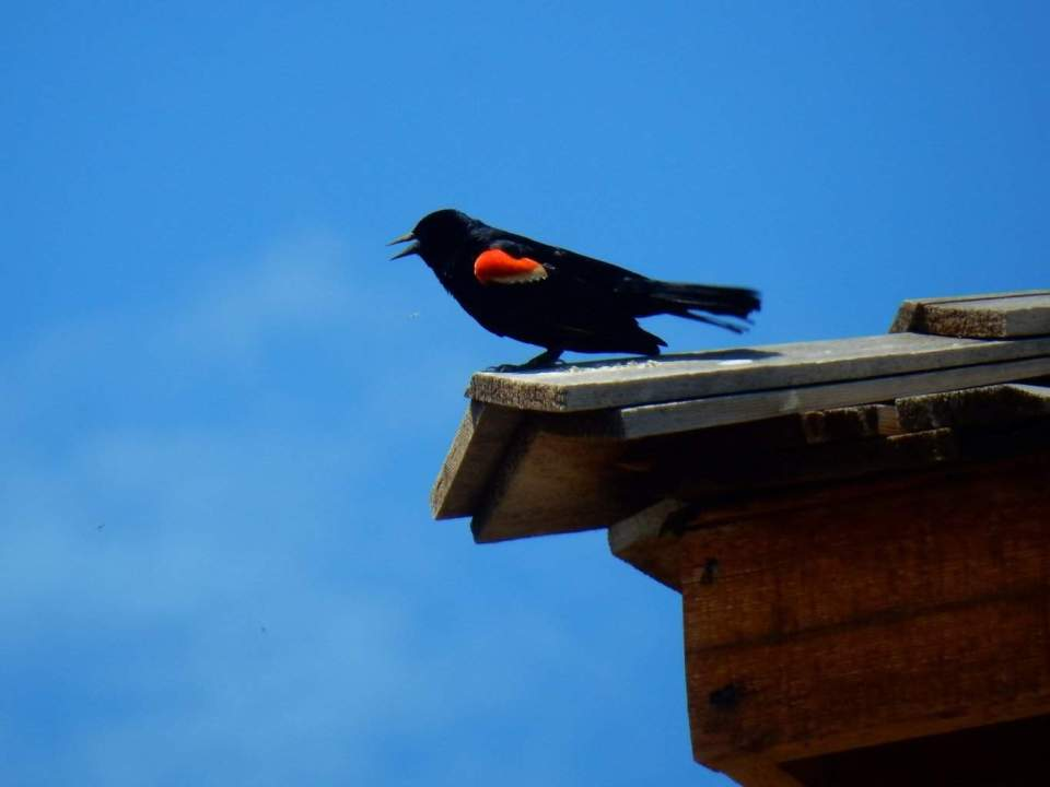 Redwing Blackbird Upon the Guard Tower