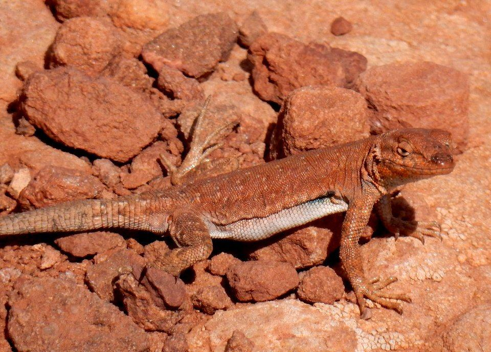 "Mr. Lizard says, ""Welcome to Canyonlands!"""