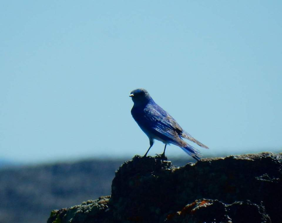 Mountain Bluebird - Idaho's state bird
