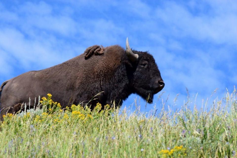 Bison Hayden