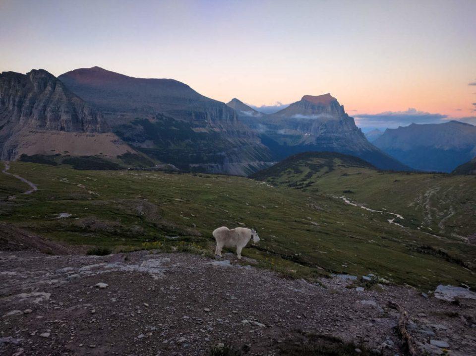 Male Mountain Goat near the Hidden Lake Trail