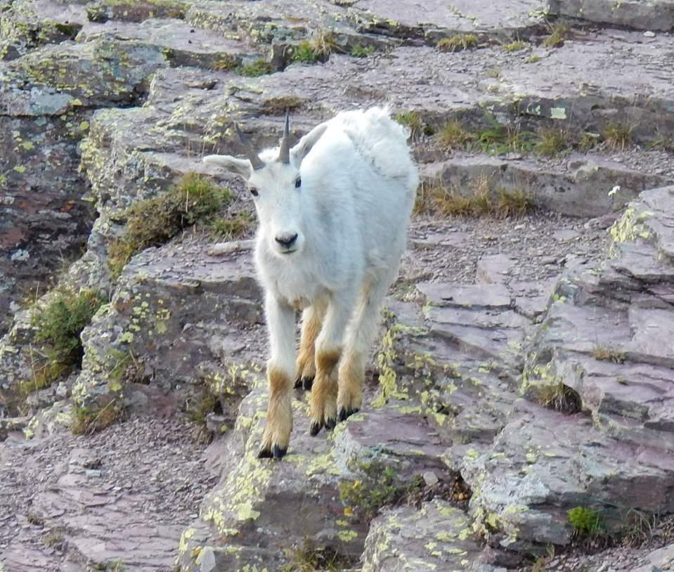 Solo Mountain Goat kid