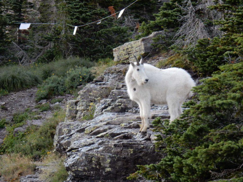 Mountain Goat with Radio Collar
