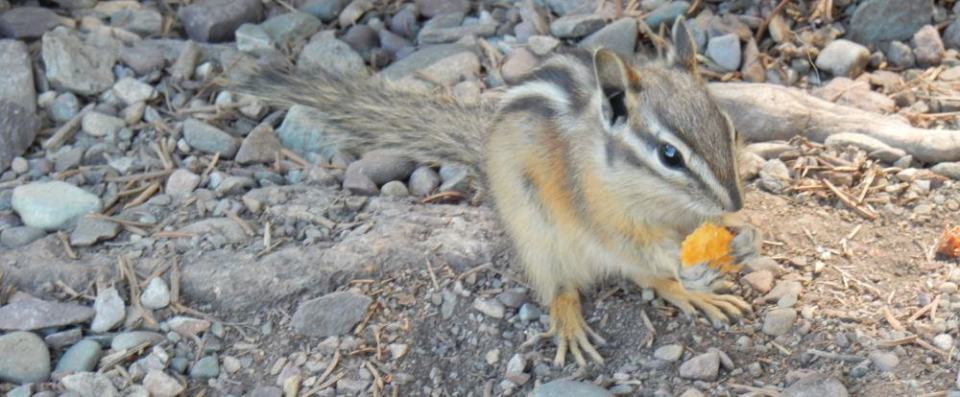 Mr Chipmunk eats a nut.