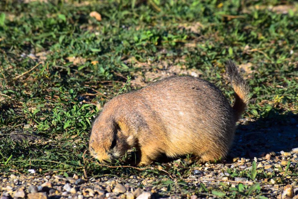 Chubby prairie dog