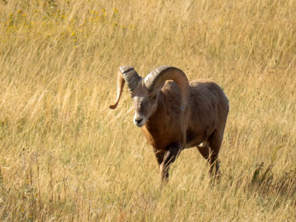 Bighorn sheep owns all of it
