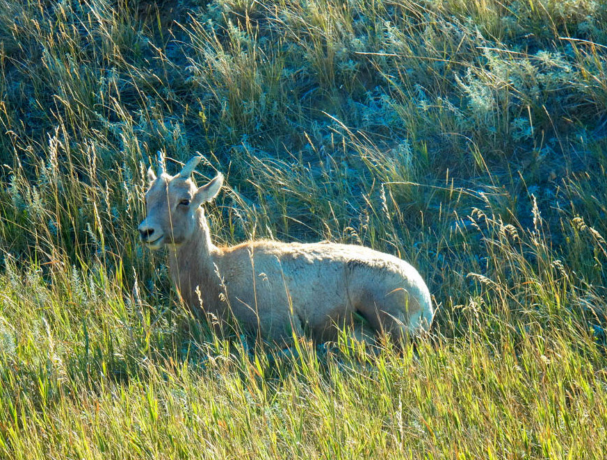 Bighorn Sheep just grass and chill