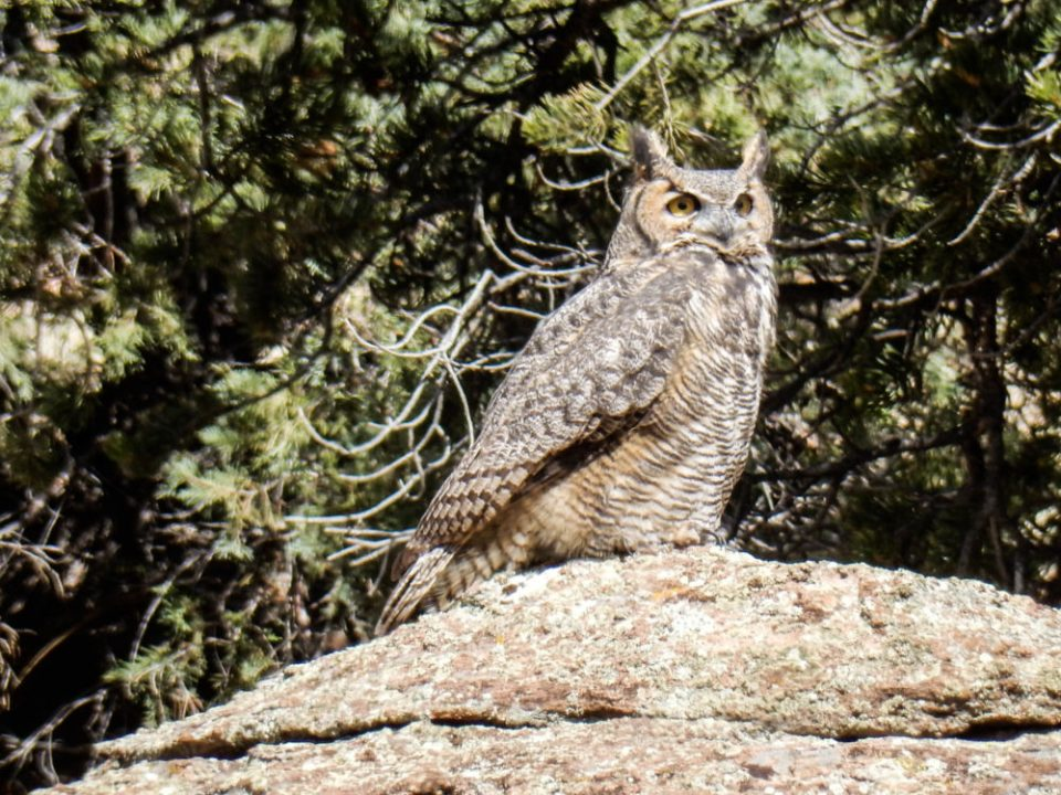 Elephant Rocks Great Horned Owl