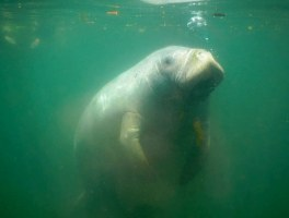 Manatee floating up for air