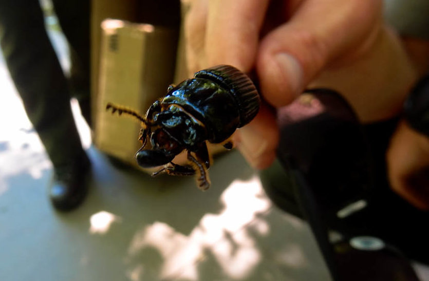 A kind of wood beetle