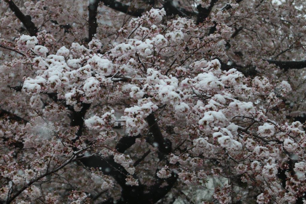 春の雪, 東京で雪, 雪, 春雪, 桜, さくら, サクラ, spring, snow, tokyo, japan, cherry blossom, cherry, white,