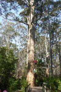 Gloucester Tree to Cascades Tramway Walk