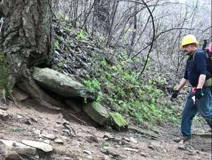 A trail worker looks at a large rock stuck under the roots of an old Douglas fir tree.