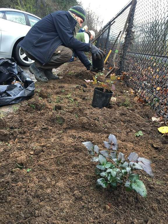 A squatting worker upends a plastic plant pot over the dirt along a fence line, next to an already planted small Oregon grape in the foreground.