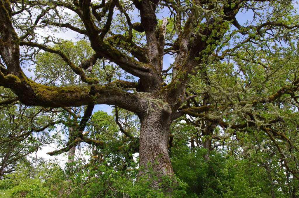 The trunk and many massive moss-covered branches of an oak tree.