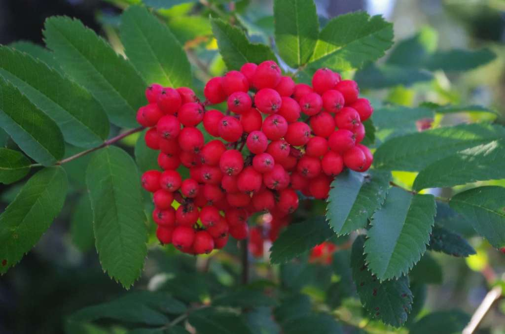 A cluster of bright red berries.