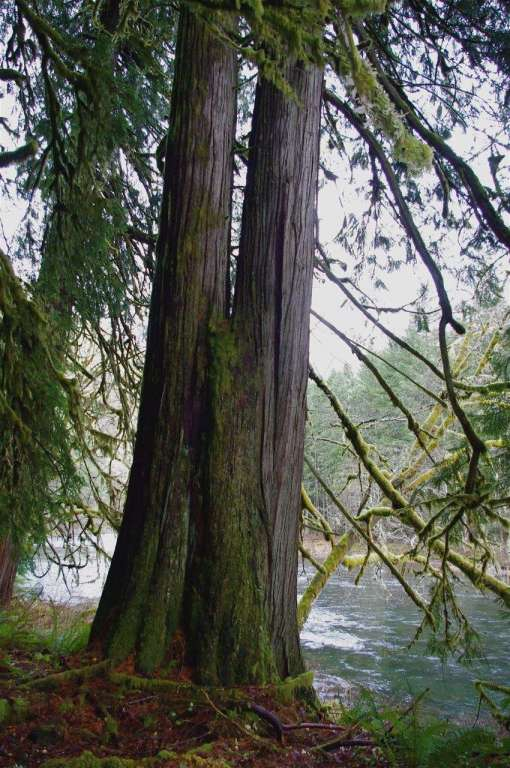 A tall cedar tree with two trunks grows next to a river.